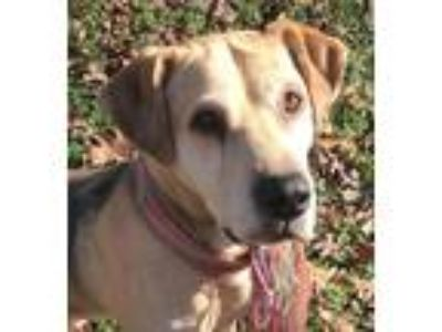 Adopt Pepper a Tan/Yellow/Fawn - with Black Labrador Retriever / Hound (Unknown