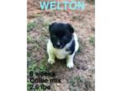 Adopt Welton AA in MS a Collie