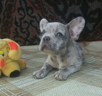 French Bulldog PUPPY FOR SALE ADN-94799 - Blue Merle French Bulldog