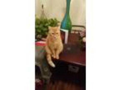 Adopt Lady a Orange or Red American Shorthair cat in Port Orange, FL (23938594)
