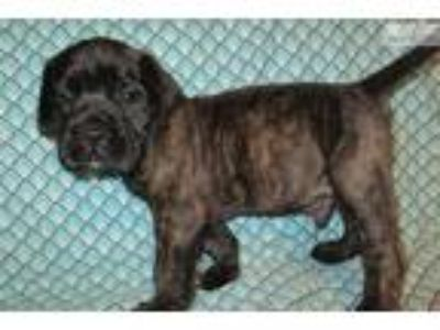 AKC registered male English Mastiff puppy-Ninja