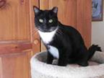Adopt Sebastian a Black & White or Tuxedo Domestic Shorthair / Mixed (short