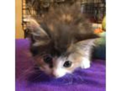 Adopt Sasha a Calico or Dilute Calico Domestic Shorthair cat in League City