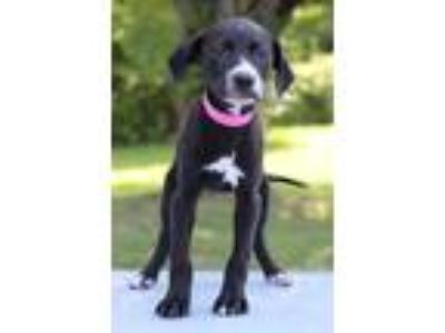 Adopt Dixie a Black - with White Miniature Pinscher / Labrador Retriever / Mixed