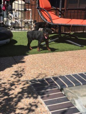 Rottweiler PUPPY FOR SALE ADN-99286 - AKC Registered Champion Bloodline Pups