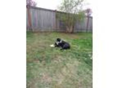 Adopt Cheif a Black - with White Border Collie / American Pit Bull Terrier dog