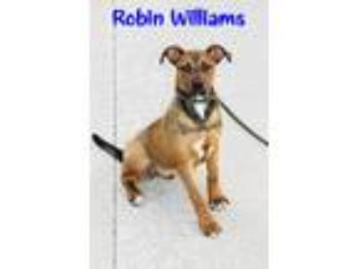 Adopt Robin Williams a Tan/Yellow/Fawn - with White Boxer / Black Mouth Cur /