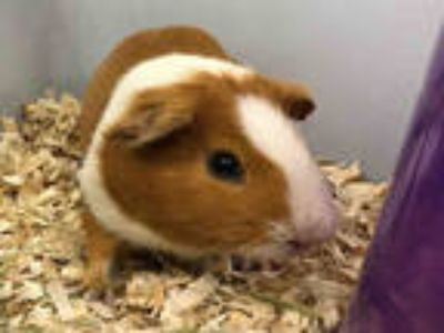 Adopt LUKE a Red Guinea Pig / Mixed small animal in Plano, TX (25558447)