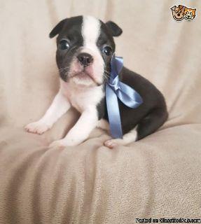 Potty Traine Boston terrier puppies