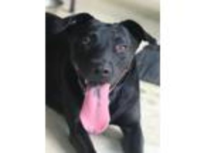 Adopt Hayley a Labrador Retriever, Black Labrador Retriever