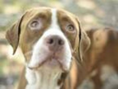 Adopt a Brown/Chocolate - with White Boxer / Mixed dog in Tavares, FL (25268347)