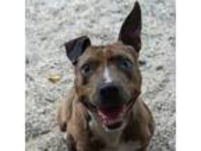 Adopt Carmelo a Catahoula Leopard Dog, Mixed Breed