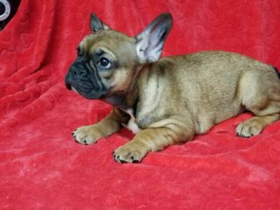 French Bulldog PUPPY FOR SALE ADN-109336 - AKC French Bulldog Puppies