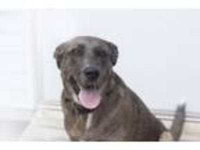 Adopt Stormy a Catahoula Leopard Dog / Mixed dog in Mountain Home, AR (25880504)