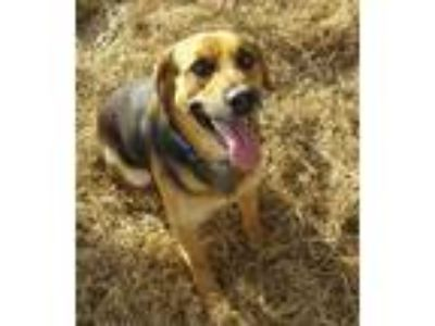 Adopt Billy a Brown/Chocolate - with Black German Shepherd Dog / Hound (Unknown