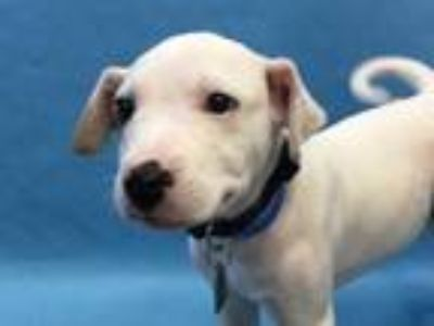 Adopt Lightning a White Labrador Retriever / Mixed dog in Golden Valley