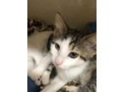 Adopt Aang a Brown or Chocolate Domestic Shorthair / Domestic Shorthair / Mixed