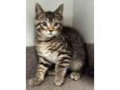 Adopt Tom a Brown Tabby Domestic Shorthair (short coat) cat in Chicago