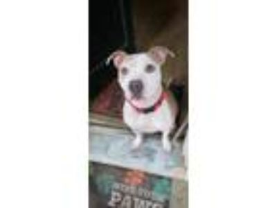 Adopt Nala a Brindle - with White American Pit Bull Terrier / Mixed dog in