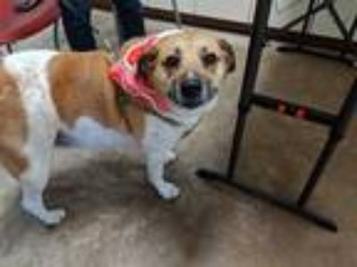 Adopt KUNO a Brown/Chocolate - with White Pointer / Mixed dog in Austin