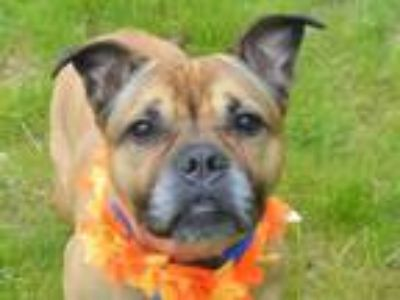Adopt TRIXIE a Pit Bull Terrier, Boxer