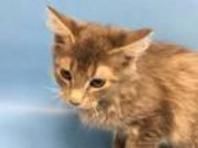 Adopt Fluffy a Domestic Long Hair, Domestic Short Hair