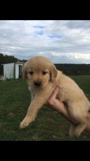 Golden Retriever PUPPY FOR SALE ADN-102164 - Beautiful Farm raised Golden Retriever puppies