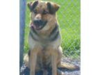 Adopt Periwinkle-Cougar Canine a Black Shepherd (Unknown Type) / Mixed dog in