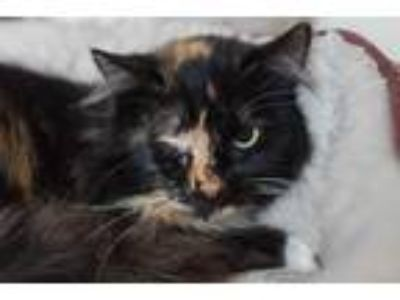 Adopt Bokeh a Tortoiseshell Domestic Mediumhair (medium coat) cat in Morgantown