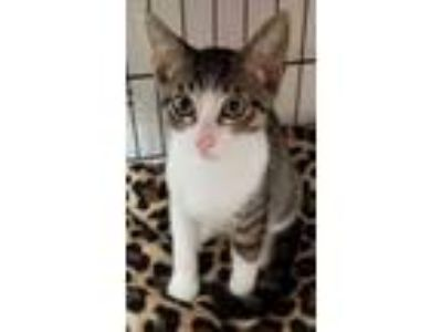 Adopt Tam Tam a Brown or Chocolate Domestic Shorthair / Domestic Shorthair /