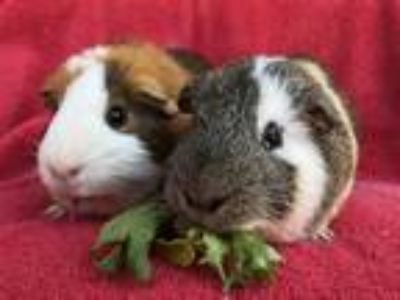Adopt Calloway(Bonded to Otto) a Cream Guinea Pig small animal in Imperial
