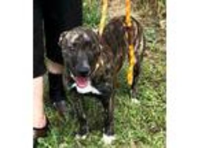 Adopt Dixon a Brindle Plott Hound / Mixed dog in Newberry, SC (25264904)