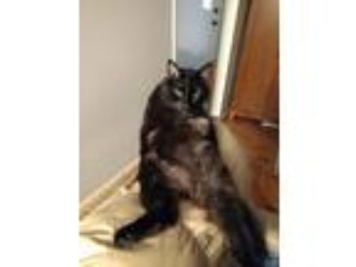 Adopt Smoky a Black (Mostly) Domestic Longhair / Mixed cat in Seymour