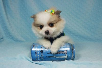 Teacup and Toy Puppies available in Las Vegas!