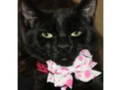 Adopt LUNA a All Black Domestic Shorthair (short coat) cat in Clayton