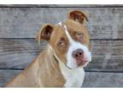 Adopt Gypsy a Red/Golden/Orange/Chestnut - with White Pit Bull Terrier / Mixed