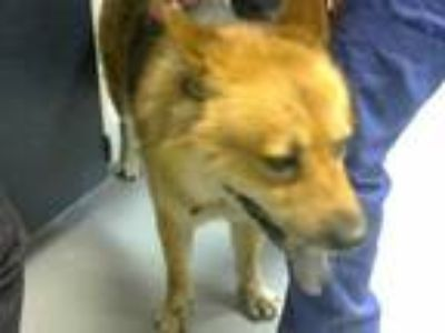 Adopt a Tan/Yellow/Fawn - with Black German Shepherd Dog / Chow Chow / Mixed dog