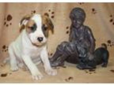 Adopt Michel a White - with Tan, Yellow or Fawn Pit Bull Terrier / Mixed dog in