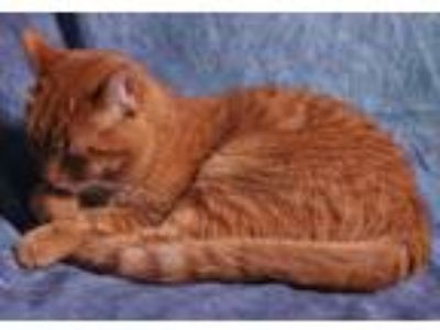 Adopt Boris a Orange or Red Domestic Mediumhair / Mixed cat in Union City