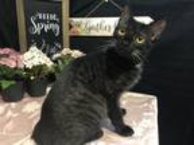 Adopt Tracy a All Black Domestic Shorthair / Mixed (short coat) cat in