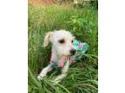 Adopt Penny a Poodle, Terrier