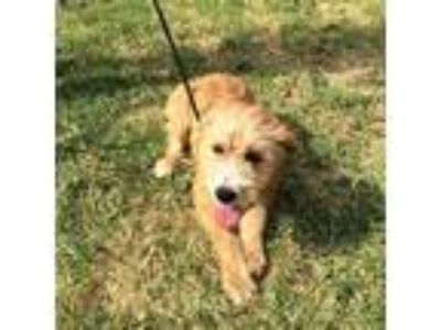 Adopt Cinnamon a Tan/Yellow/Fawn Wirehaired Fox Terrier dog in Moorestown