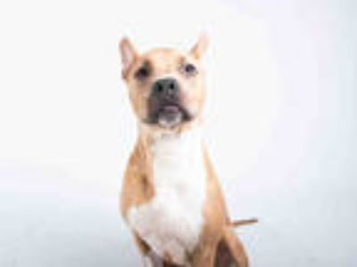 Adopt GIDEON a Tan/Yellow/Fawn - with White American Pit Bull Terrier / Mixed