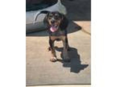 Adopt Raven a Tricolor (Tan/Brown & Black & White) Beagle / Mixed dog in