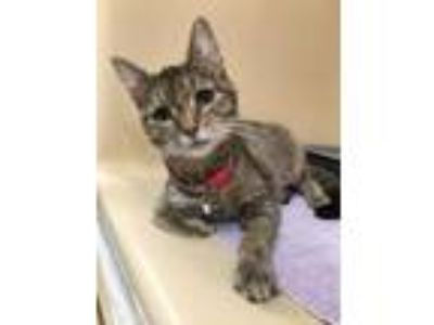 Adopt Miracle a Brown or Chocolate Domestic Shorthair / Domestic Shorthair /