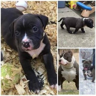 American Bully Mikelands  PUPPY FOR SALE ADN-94930 - MALE American Bully Pocket ABKC UKC registered
