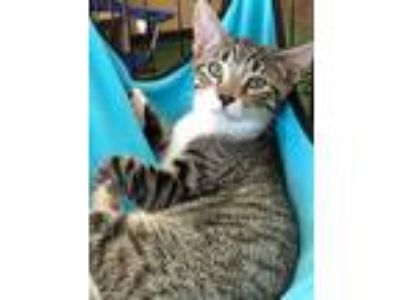 Adopt Hazel a Gray, Blue or Silver Tabby Domestic Shorthair (short coat) cat in