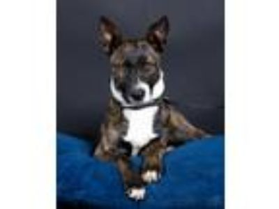 Adopt Dixie a Brindle - with White Fox Terrier (Smooth) / Shepherd (Unknown