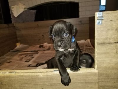 Boxer PUPPY FOR SALE ADN-92206 - Sealed Females   AKC