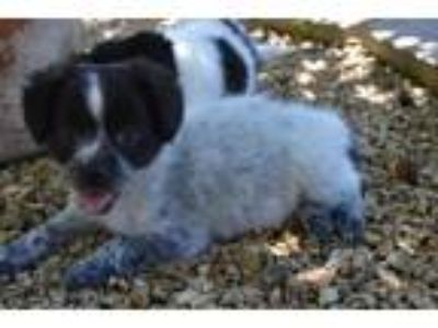 Adopt Dora - Claremont a White - with Black Spaniel (Unknown Type) / Mixed dog